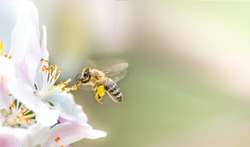 Flying honey bee collecting bee pollen from apple blossom. Bee collecting honey.