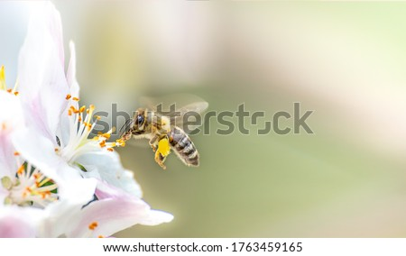 Flying honey bee collecting bee pollen from apple blossom. Bee collecting honey. Stockfoto ©