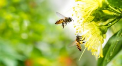 Flying honey bee collecting pollen at yellow flower. Bee flying over the yellow flower in blur background