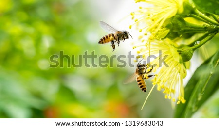 Photo of  Flying honey bee collecting pollen at yellow flower. Bee flying over the yellow flower in blur background