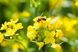 Flying honey bee on a field rapeseed blooming yellow flowers