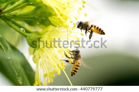 Flying honeybee collecting pollen at yellow flower.