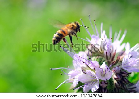 Flying honeybee near purple flower on the green background