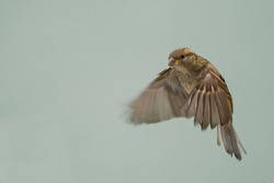 Flying House sparrow on blue background (Passer domesticus)