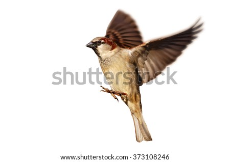 flying house sparrow on white...