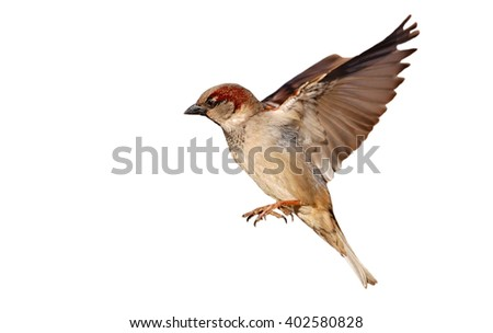 Flying House sparrow on white background (Passer domesticus) - Shutterstock ID 402580828