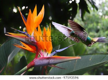 Flying Hummingbird at a Strelitzia flower Stock photo ©