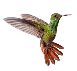 flying hummingbird isolated on white background
