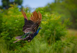 Flying Indian peafowl (Pavo cristatus) in real nature with wings up at Pranburi National Park,Thailand