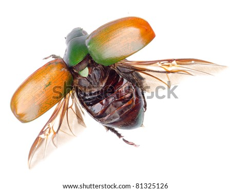 flying insect scarab beetle isolated