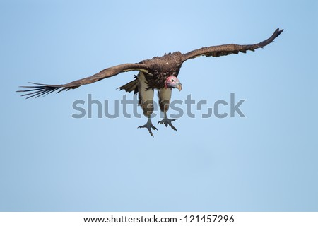 Flying Lappet-faced Vulture at blue sky (Aegypius tracheliotus)