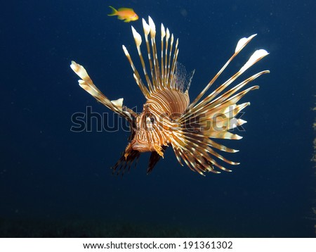 Flying lionfish (Pterois volitans)
