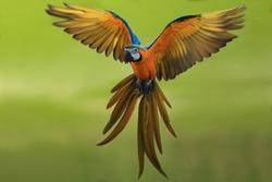 flying macaw,beautiful bird