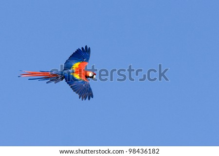 flying macaw parrot