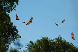 Flying Madagascar Flying Fox or Madagascar Fruit Bats (Pteropus rufus), Berenty, Fort Dauphin, Toliara Province, Madagascar