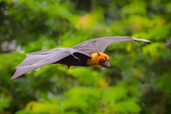 Flying male Lyle's flying fox (Pteropus lylei) with green background in nature of Thailand