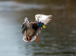 Flying male mallard