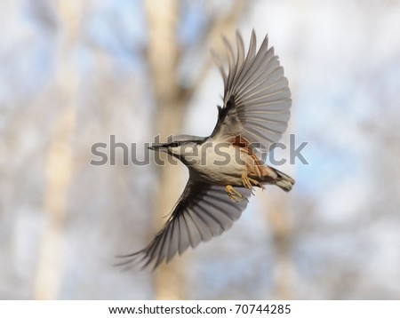 Flying Nuthatch with Open Wings/Simple flight of Nuthatch and difficult work to catch this moment