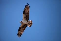 Flying Osprey bird Pandion haliaetus high above a marsh in Sanibel Island, Florida