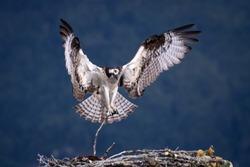 Flying Osprey building the nest.