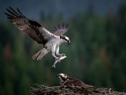 Flying Osprey carrying the fish