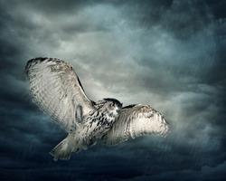 Flying owl bird at night