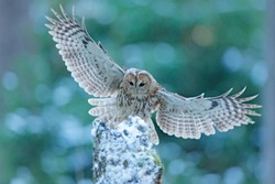 Flying owl in the snowy forest. Action scene with Eurasian Tawny Owl, Strix aluco, with nice snowy blurred forest in background.