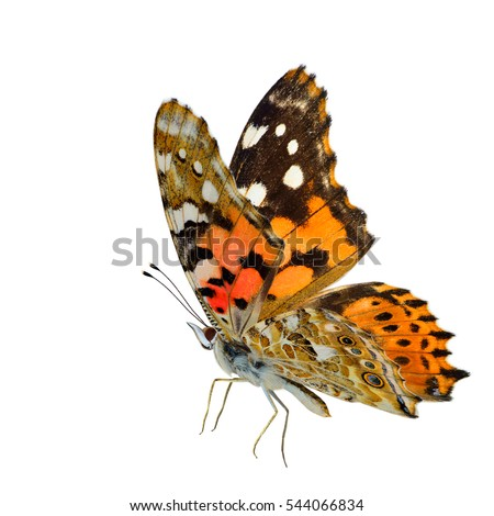 Flying Painted Lady butterfly (Vanessa cardui) with side fully stretched wings in original color profile isolated on white background, fascinated nature