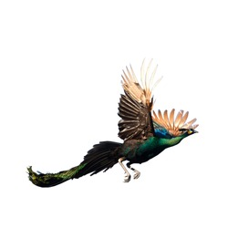 Flying Peacock Isolated On White Background