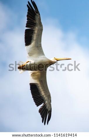 Flying Pelican with full wingspan underside