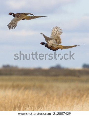 Flying Pheasant Pair