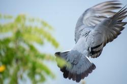 Flying Pigeon landing