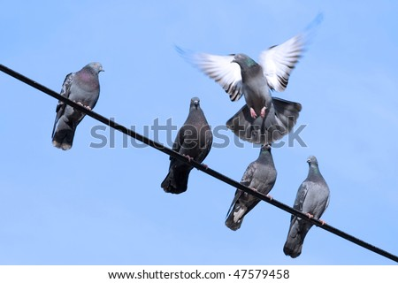 Flying pigeon tries to sit on the wire