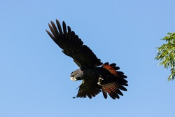 Flying Red-tailed Black Cockatoo in Perth