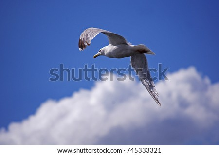 Flying Seagull #745333321