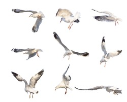 flying seagull actions isolated on white background