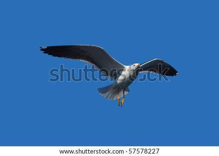 flying seagull in blue sky