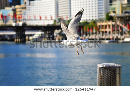 Flying seagull in Darling Harbour, Sydney