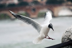 Flying seagull in the old town of Florence. Bird is alighting to river parapet. Italy, Florence, spring