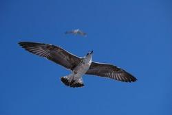 Flying seagull over blue Aegean Sea.