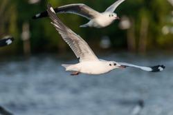 Flying Seagull, Sea Gulls in thailand, Sea Gull in south east asia. A flock of common black headed gulls, Chroicocephalus Ridibundus, sea gulls, flying over a beach in a clear blue sky