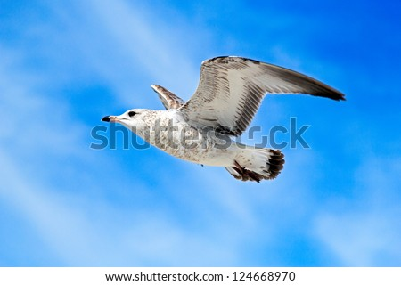 flying seagull with blue sky background