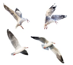 flying seagulls isolated on white background