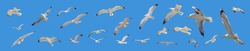 Flying seagulls set on clear blue sky background, open wings. European herring gulls collection panoramic, low angle view, banner. Aegean sea Greece.