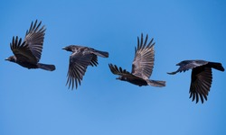 flying sequence of a crow against a blue clear sky