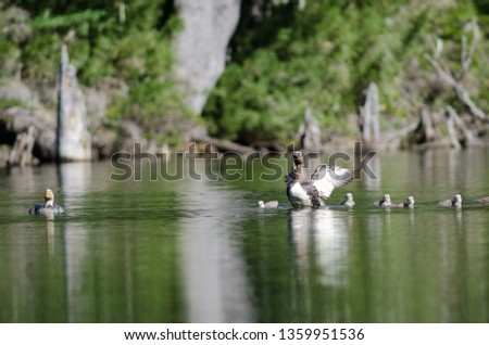 Flying steamer ducks (Tachyeres patachonicus). Adults (female to the right and male to the left) and chicks. Captren lagoon. Conguillio National Park. Araucania Region. Chile. #1359951536