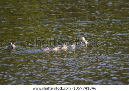 Flying steamer ducks (Tachyeres patachonicus). Adults (male to the right and female to the left) and chicks. Captren lagoon. Conguillio National Park. Araucania Region. Chile. #1359941846