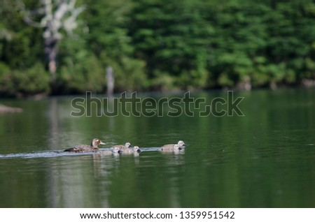 Flying steamer ducks (Tachyeres patachonicus). Female and chicks. Captren lagoon. Conguillio National Park. Araucania Region. Chile. #1359951542