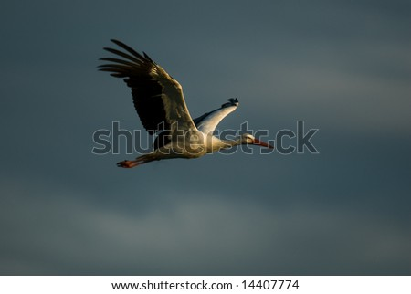 Flying stork with dark clouds in background.