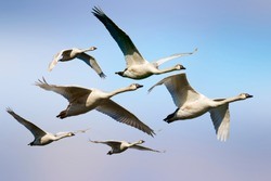 Flying swans. Blue sky background. Isolated birds. Swans: Mute Swan. Cygnus olor.